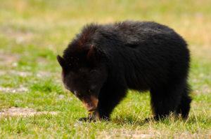 Black Bear Cub is not the actual bear seen in Manchester this summer.